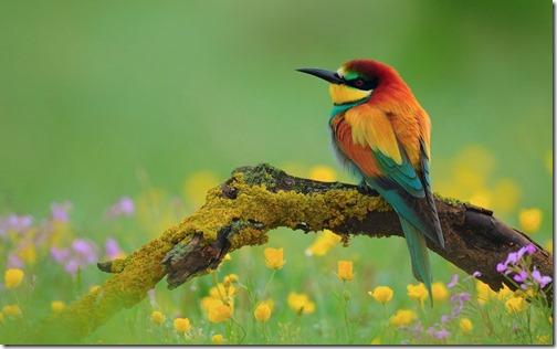 c__data_users_defapps_appdata_internetexplorer_temp_saved-images_flowers-colorful-birds-wallpaper-8_960x600[1]